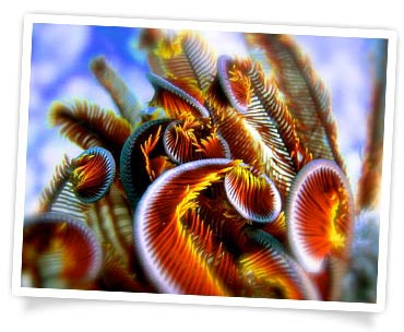James Livingstone - Crinoid