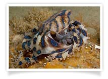 Leanne Atkinson - Blue-ringed Octopus with Eggs
