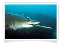 John Natoli - Grey Nurse Shark with Fishing Gaff