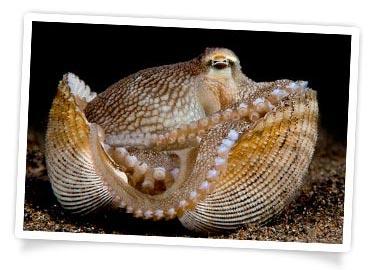 Octopus in Shell - Jeffrey de Guzman