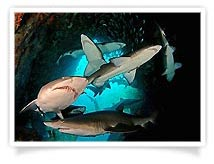Peter Hitchins - Grey Nurse Sharks in Fish Rock Cave