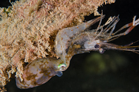 Pygmy squid eating