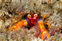 Google Eyed Squat Lobster
