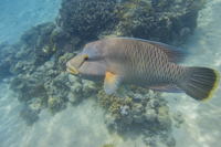Maori Wrasse on the Great Barrier Reef