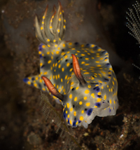 Hypsolodoris sp Nudibranch