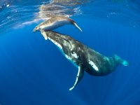 Humpback whales in Niue