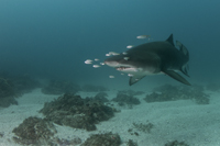 Grey Nurse Shark 2
