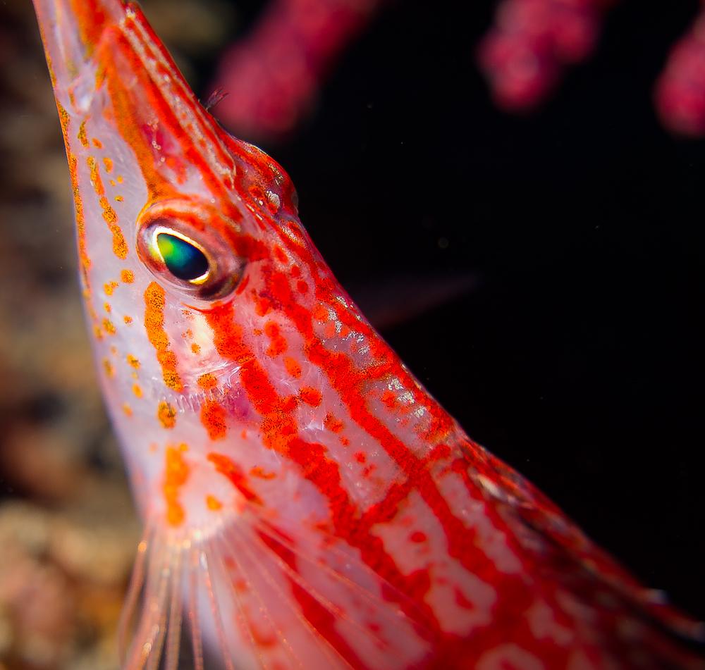 Longnose Hawkfish QT Woes - Reef Central Online Community