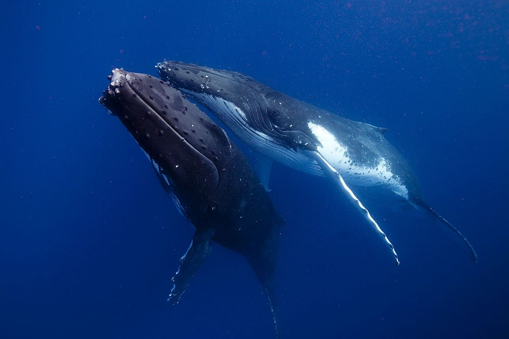 courting whales