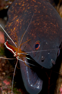 Moray Eel and Cleaner Shrimp