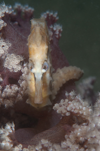 Seahorse in Soft Coral